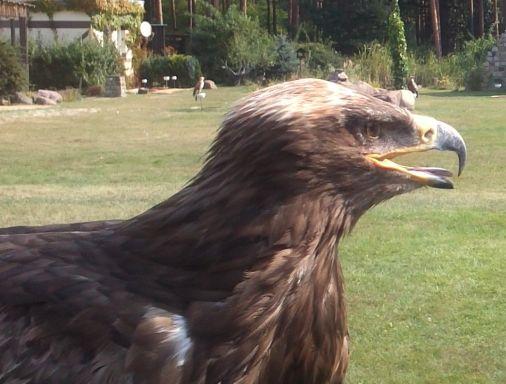 Adlerweibchen nah