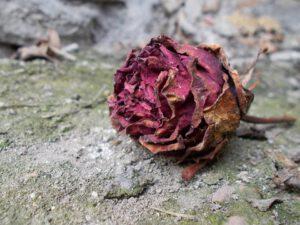 eine verblühte Rose - das Ende vom Glück